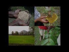 Medicinal Rice B4 Formulations for Oily Urine: Pankaj Oudhia's Medicinal...