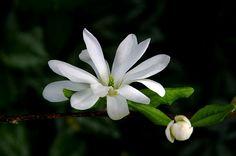 magnolia from my garden