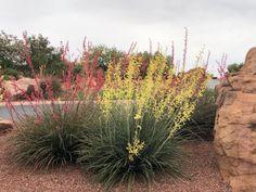 Yucca Plant, Plants, Plant, Planets