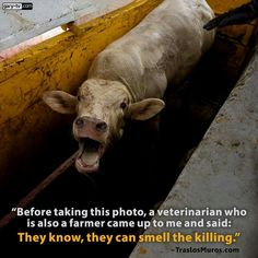 If you eat meat, the death of these innocent beings is down to you. No excuses. Reasons To Go Vegan, Vegan Facts, Animal Agriculture, Vegan Quotes, Why Vegan, Stop Animal Cruelty, Vegan Animals, Save Animals, Animal Welfare