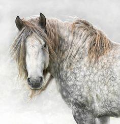 Dappled gray horse