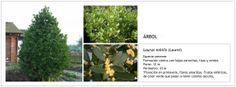 Laurus nobilis (Laurel)