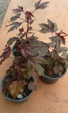 Planta de jamaica