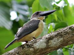 Great-billed or Black-billed Kingfisher - endemic to Sulawesi, Indonesia
