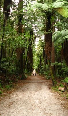 On the way back to Rotorua, we stopped at the Redwood Forest. This forest was planted in an attempt to replace the native forests that were being cleared rapidly by European settlers for farmland. As NZ native trees grew slowly, they decided to plant the Redwood instead. The result? A huge forest of GIANT redwood trees. There are many walk and bike trails through the forest. We opted for a walk of about 2 hrs (the Blue Track) - NZ