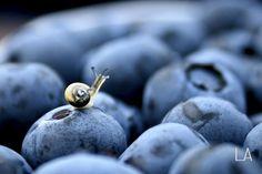 Blueberry Snail