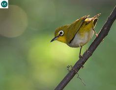 Vành khuyên Đông Á   Japanese white-eye/Mejiro (メジロ) (Zosterops japonicus)(Zosteropidae) IUCN Red List of Threatened Species 3.1 : Least Concern (LC)   (Loài ít quan tâm)