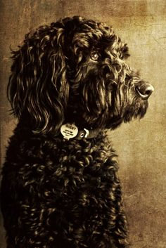 black golden doodle #goldendoodle #groodle- Joshua Kane Photography