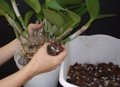 This pictorial clinic is an example of the repotting process for a Cattleya. We also have an orchid care video on repotting a Cattleya. Herb Garden, Garden Plants, Indoor Plants, Moss Garden, Orchid Planters, Cattleya Orchid, Dendrobium Orchids, Rare Orchids, Growing Orchids