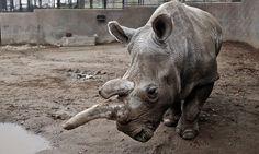 Endangered white rhino dies at San Diego Zoo
