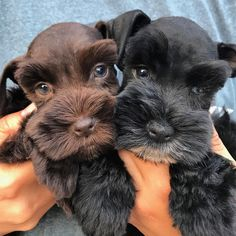 "61 Likes, 2 Comments - Kodiak & Grizzly (@brotherbears.minischnauzers) on Instagram: ""Hi everyone. Yogi broke his leg this morning, he is only 7 weeks old. Please donate to the go fund…"""