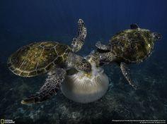 Menção Honrosa: Tartarugas-verdes devorando uma água-viva em Byron Bay, no estado de Nova Gales do Sul, Austrália
