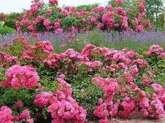 Pinker Garten-Blumen einpflanzen-Ideen für farben-im Garten