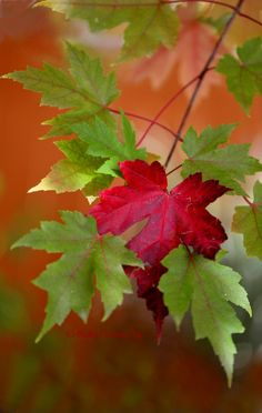 ~~One of These Things is Not Like the Others • autumn Sugar Maple leaf macro • by Robin Evans~~