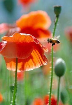 Beautiful corn poppy -- by nature planet Red Flowers, Colorful Flowers, Beautiful Flowers, Beautiful Pictures, My Flower, Flower Power, Orange Poppy, Beautiful World, Mother Nature