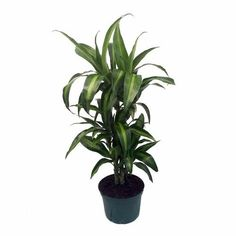 Zz Plant Care Yellow Leaves
