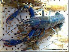 3 Simple Keys to Growing Freshwater Crayfish in Tanks