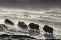 Fascinating Animal Photographs by Vincent Munier – Fubiz Media