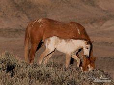 Sunrise Foal  Fine Art Wild Horse Photograph by Carol Walker www.LivingImagesCJW.com