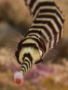 Ringed pipefish | Distributed widely from the Red Sea, the Indo-Pacific, Australia and Micronesia the Ringed Pipefish is a member of the same family of creatures which includes pipefish and seahorses