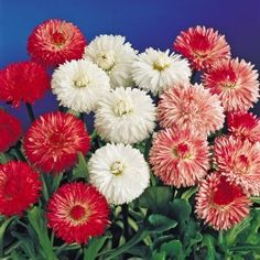 English Daisies have long been popular for spring bedding, particularly in mild winter regions. They are dwarf, dense flowering plant with white, red and pink colour flowers. Looks beautiful at full bloom. Good for pots and beds. Planting Seeds, Planting Flowers, Pink Color, Colour, Herb Seeds, All Plants, Flower Seeds, Dwarf, Daisies