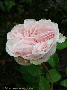 Billet Doux, climbing rose