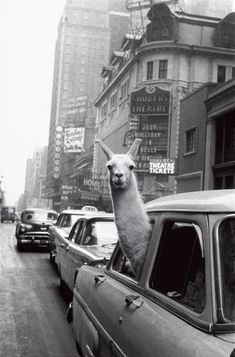 A llama in Times Square, 1957.