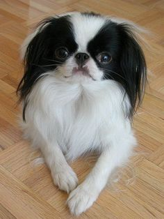6 Smallest Dog Breeds. #4 The Japanese Chin also known as the Japanese Spaniel.Japanese Chin stand about 20 to 27 cm (8 to 11 inches) in height at the withers. Weight can vary from a low of 1.4 kg (3 lb) to a high of 6.8 kg (15 lb), with an average of 3.2 to 4.1 kg (7 to 9 lb) being the most common.This breed is considered one of the most cat-like of the dog breeds in attitude: it is alert, intelligent, and independent, and it uses its paws to wash and wipe its face.