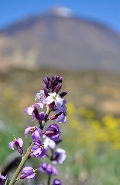 Alhelí del Teide