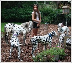 Therapy Appaloosa Mini horse, and dalmatian dogs