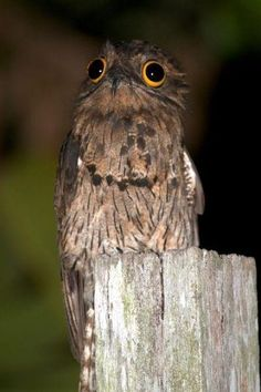 POTOO BIRD  Family:Nyctibiidae  Habitat: Forests of South and Central America  Fun Fact: Potoos' unforgettable eyes have slits in thelids that allow them to sense movement even when their eyes are closed.