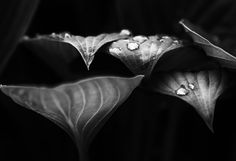Photograph Hosta leaves b&w by Anne Kasurinen on 500px