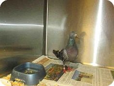 Van Nuys, CA - Pigeon. Meet A1421866 a Pet for Adoption on @Adopt-a-Pet.com