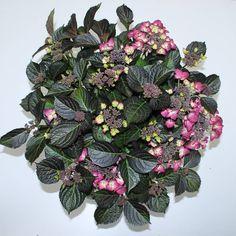 Hydrangea macr. Dark Angel Purple