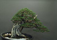 Juniperus c. var. itoigawa: Sandro Segneri bonsai design Collezione: Marco Giannini www.bonsaicreativo.it