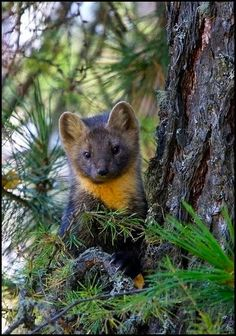 Pine Marten    Martens are related to mink, otters, badgers, wolverines, weasels, and skunks.