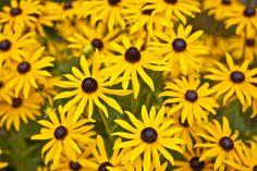 Black-Eyed Susan Flowers Rudebekia