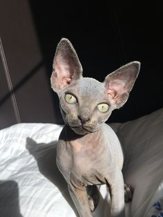 Zena the sphynx Pretty Cats, Beautiful Cats, Cute Baby Animals, Animals And Pets, Wild Animals, Cute Hairless Cat, Bb Chat, Chat Sphynx, Sphinx Cat
