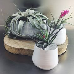 Air plants need bright, indirect sunlight and need to be watered weekly by submerging the entire plant and soaking it for about 20 minutes. Plants with blooms typically last several weeks and bloom only once in their lifetime.