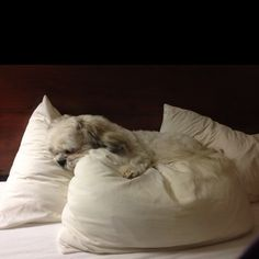 "lhasa apso ...Looks very cozy! This would be Pearl ""if"" we would let her. Entitlement must come with the. Breed."