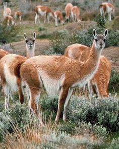 Guanacos of Peru, Argentina and Chile and in Patagonia