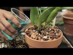 Como 'anabolizar' suas Orquídeas