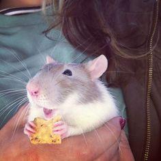 Rats Make The Best Pets!