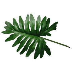 Looking for plants that grow well in Montana? Let The Plant Guide Online show you the best indoor and outdoor plants for your state. Indoor Flowering Plants, Best Indoor Plants, Exotic Plants, Cool Plants, Outdoor Plants, Dracaena Plant, Leave In, Pothos Vine, Gardens