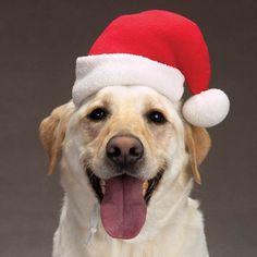 Pets Celebrate Christmas (8)