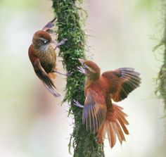 Ruddy Treerunner is endemic to the highlands of Costa Rica and western Panama. Ovenbird family