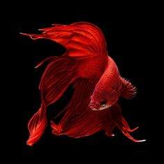 Siamese fighting fish. These stunning portraits of Siamese fighting fish seemingly floating in mid air are reel-y some-fin special. With their long flowing fins and brilliant colors, this striking series of photographs show the elegant animal in all of its beauty. Photographer, Visarute Angkatavanich, 43, created the dramatic pictures by using a range of lighting techniques in his studio and used crystal clear water to capture the unique creatures vivid array of colors. .