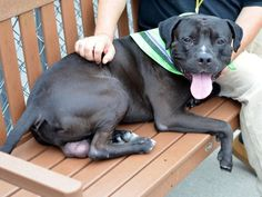 SAFE 9-16-2015 by Imagine Pet Rescue --- Brooklyn Center ZEUS – A1050115  BLACK / WHITE, AMER BULLDOG / MASTIFF, 2 yrs STRAY – ONHOLDHERE, HOLD FOR LICENSED Reason ABANDON Intake condition UNSPECIFIE Intake Date 09/02/2015