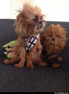 Le chien Chewbacca - Chewbacca dog