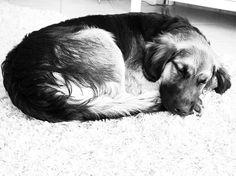 The definition of PEACE ... #Sunnythedog #bordercolliesofinstagram#goldenretrieversofinstagram #bordercollie #goldenretriever #goldenborder#bordercolliemix #goldenretrieverpuppy #puppy #puppiesofinstagram #goldenborderretriever#ilovemydog #goldenbordercollie #bestwoof